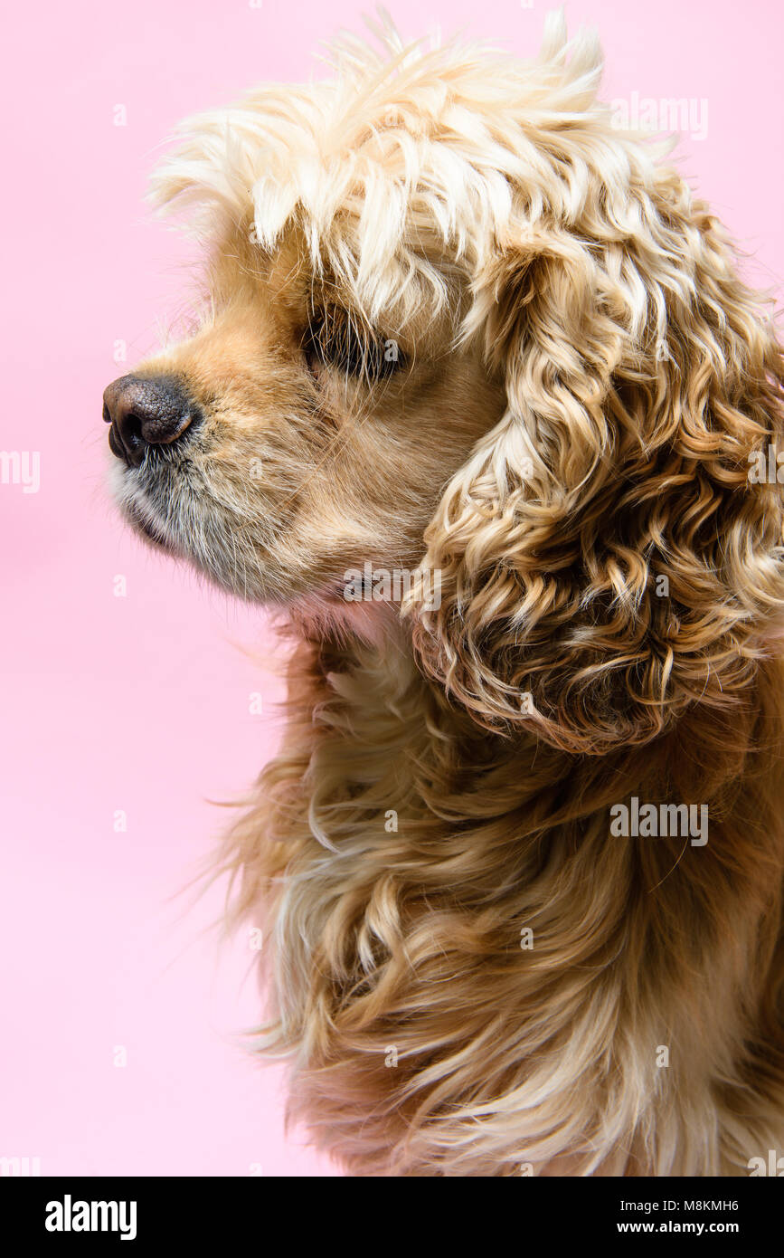 Portrait of an American cocker spaniel on a pink background. Dog looks away. - Stock Image