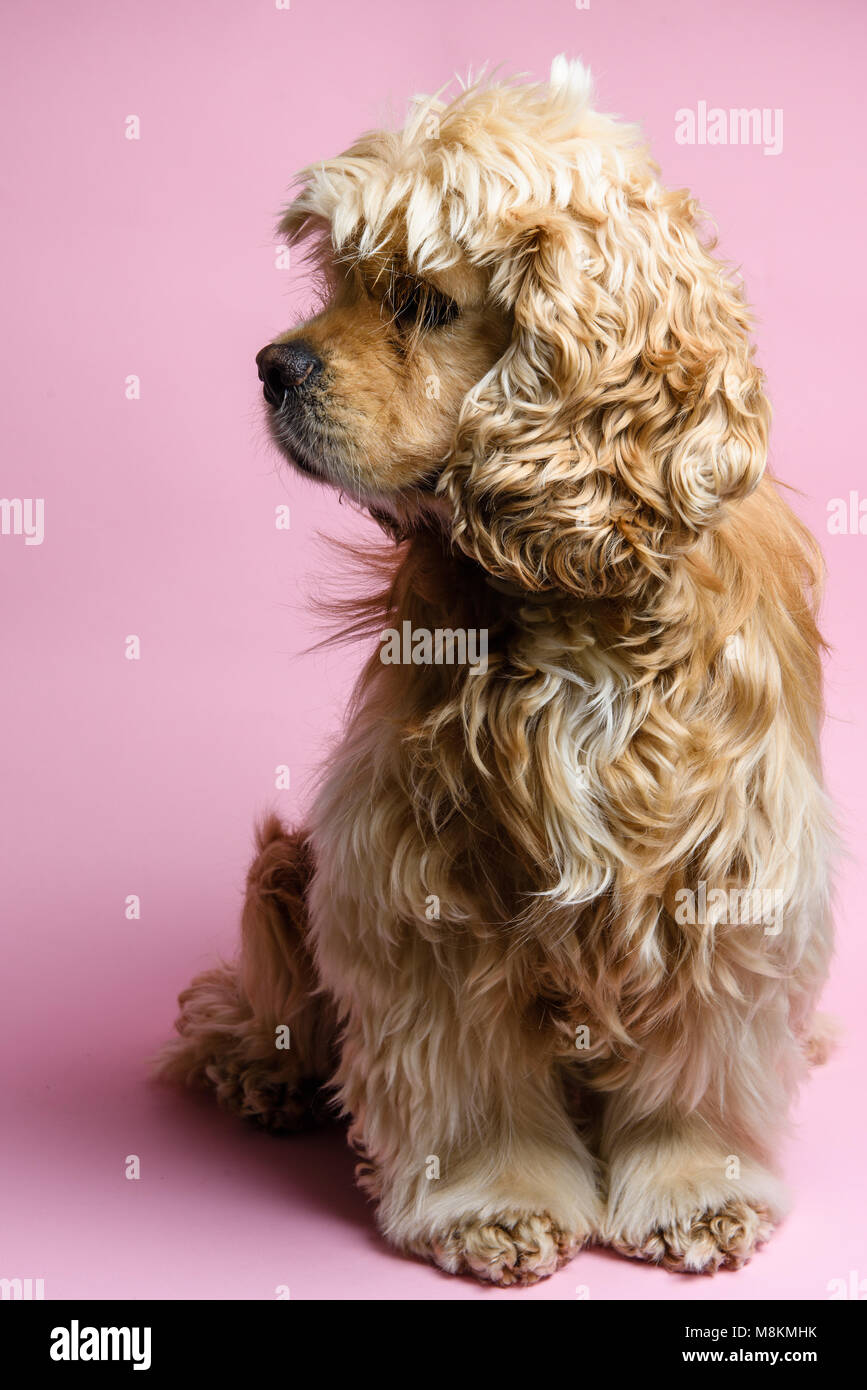 American cocker spaniel on a pink background. Dog looks away. - Stock Image