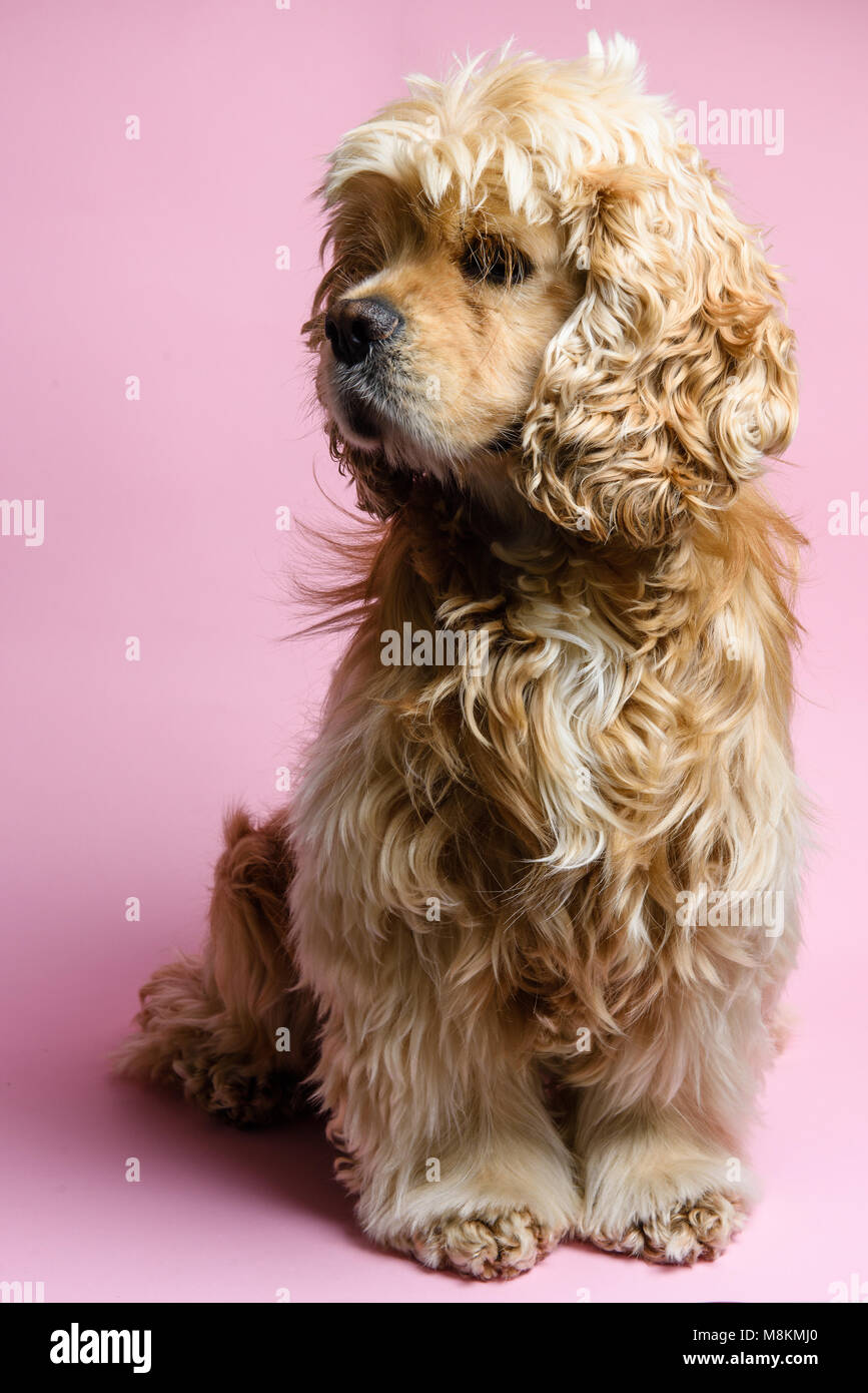 Portrait of an cute American cocker spaniel on a pink background. - Stock Image