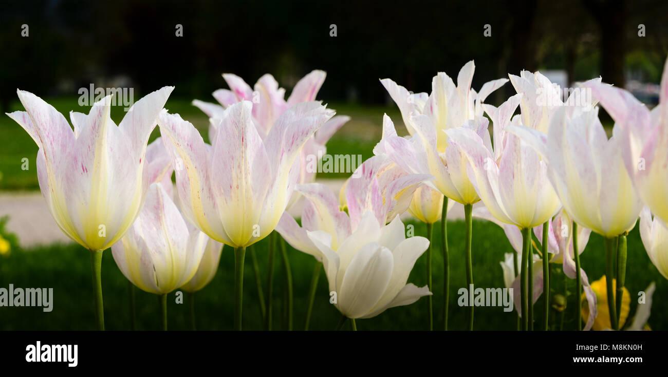 Tulpenbeet - Stock Image