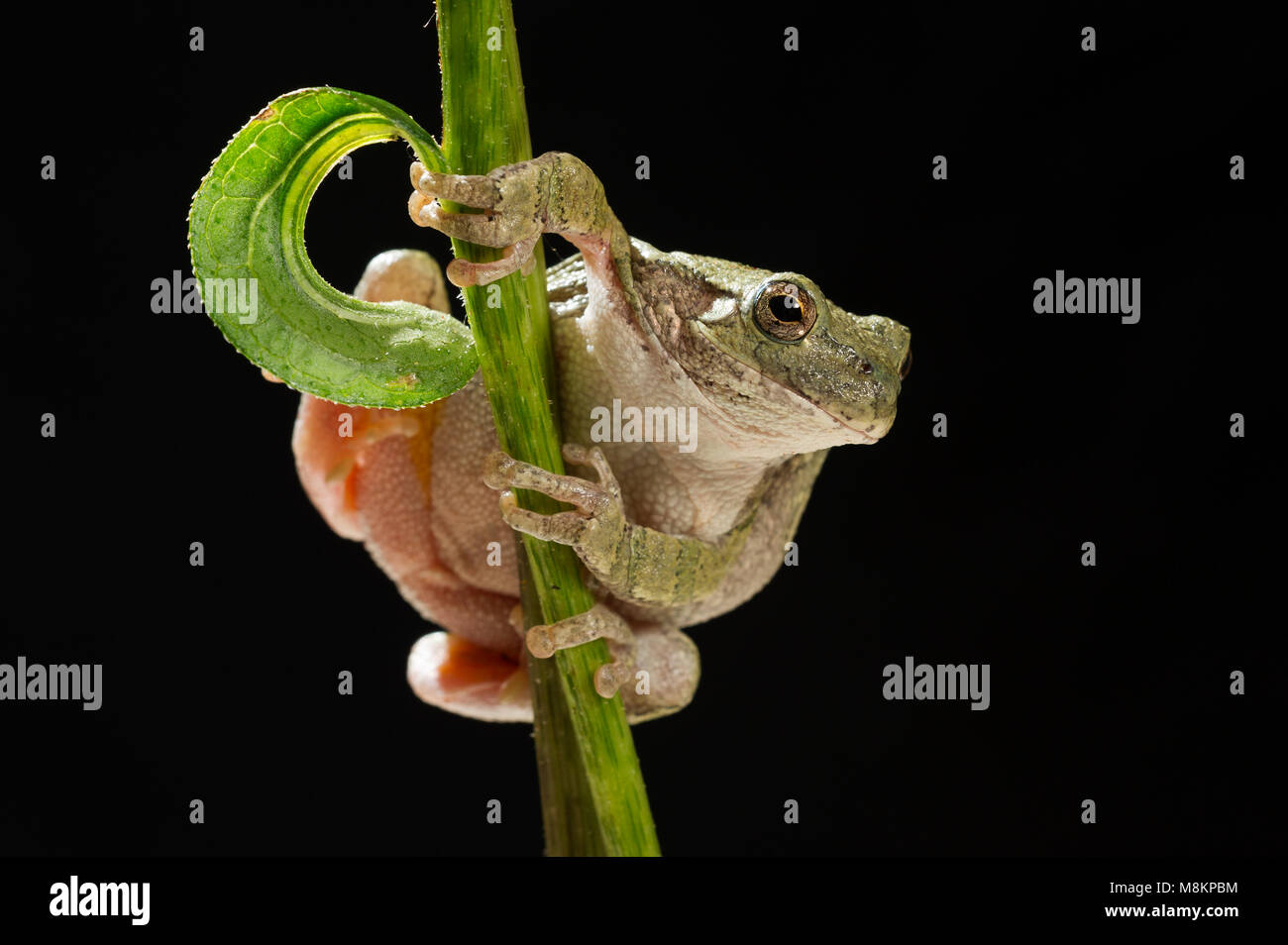 Gray Tree Frog (Hyla versicolor) on flowering cone flower (Echinacea purpurea), MN, USA by Dominique Braud/Dembinsky - Stock Image