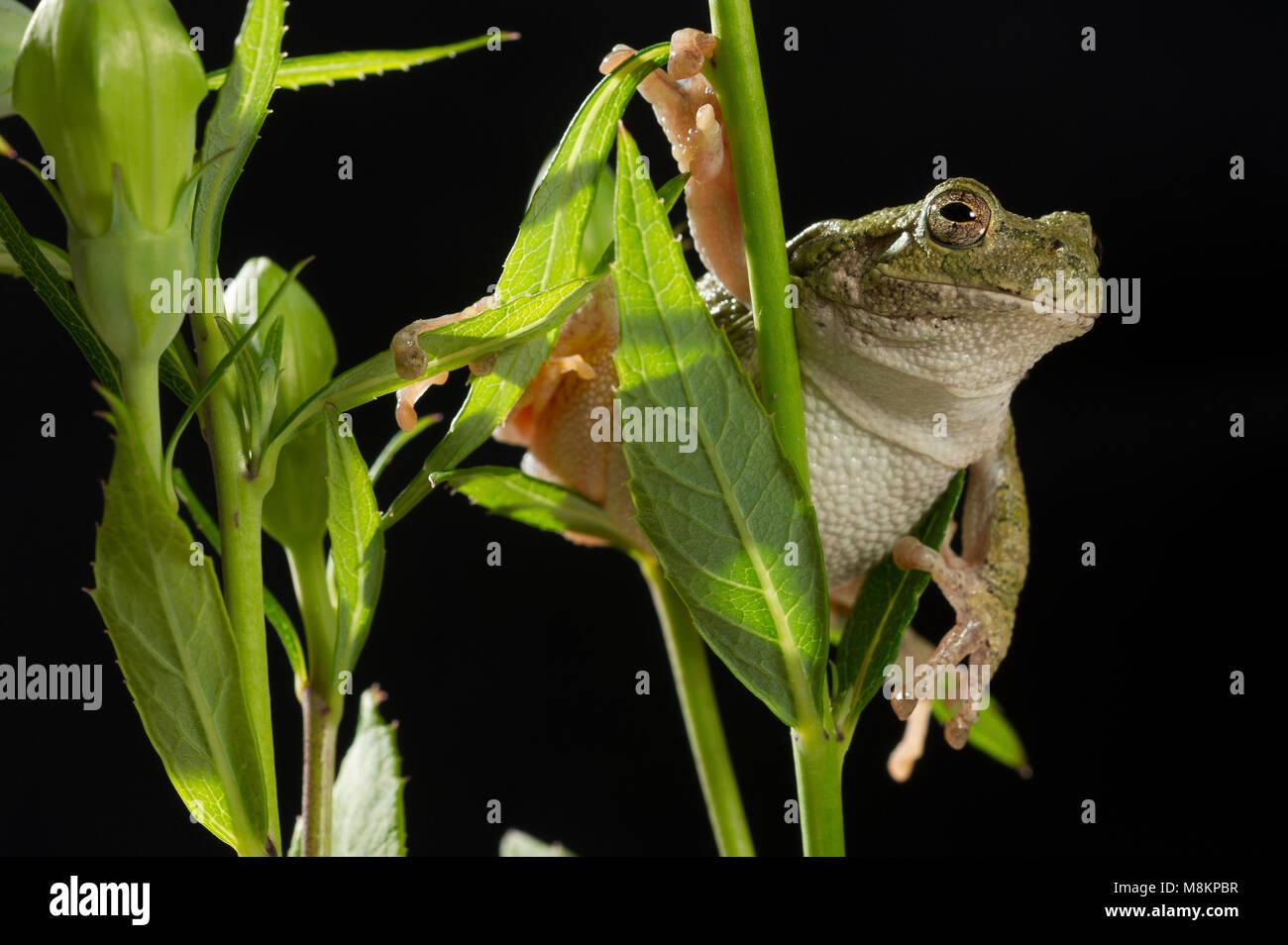 Gray Tree Frog (Hyla versicolor) on Balloon Flower (Platycodon grandiflorus), MN, USA, by Dominique Braud/Dembinsky - Stock Image