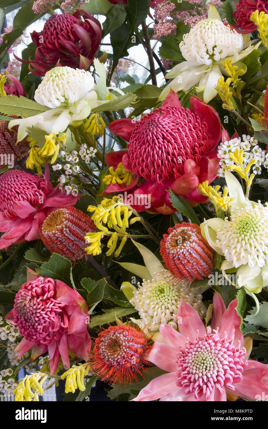 An assorted selection of Australian wildflowers including Waratahs and Banksia flowers - Stock Image