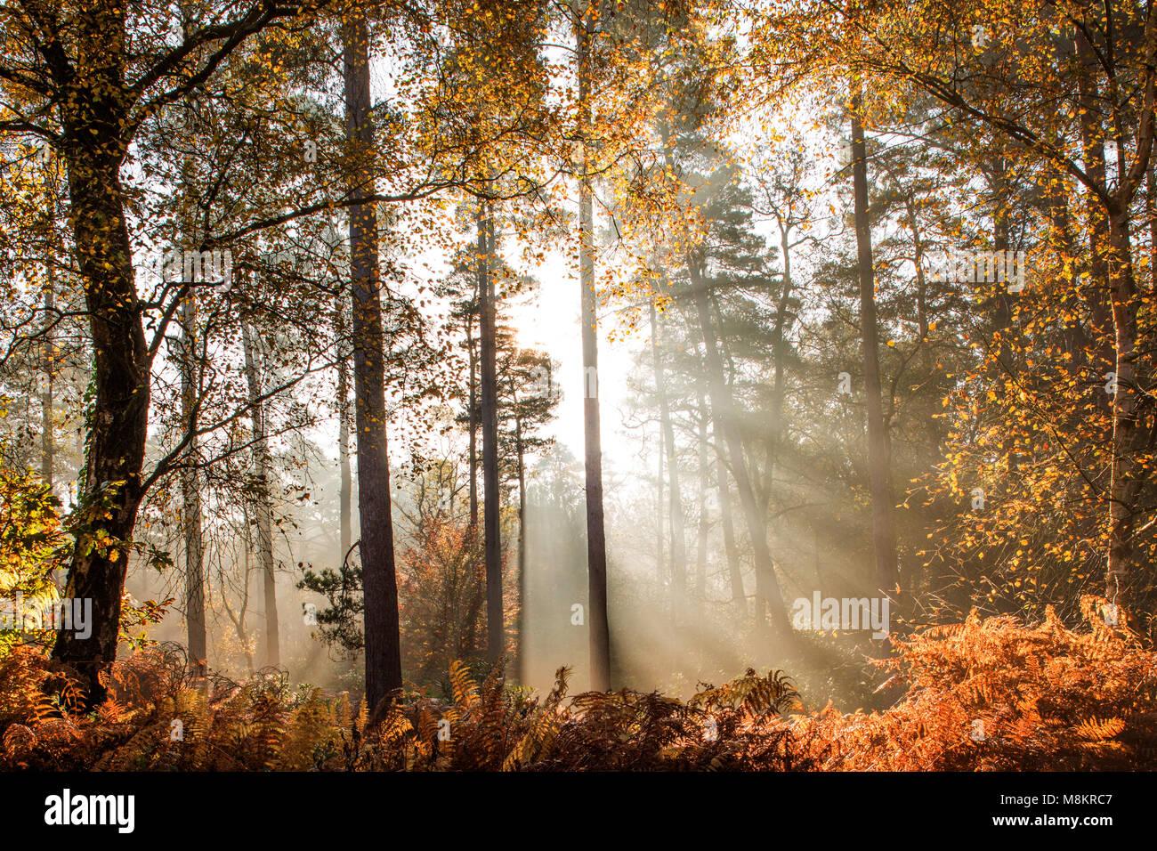 Rays of sunlight shining through early morning mist in woodland, Dorset, England, UK - Stock Image