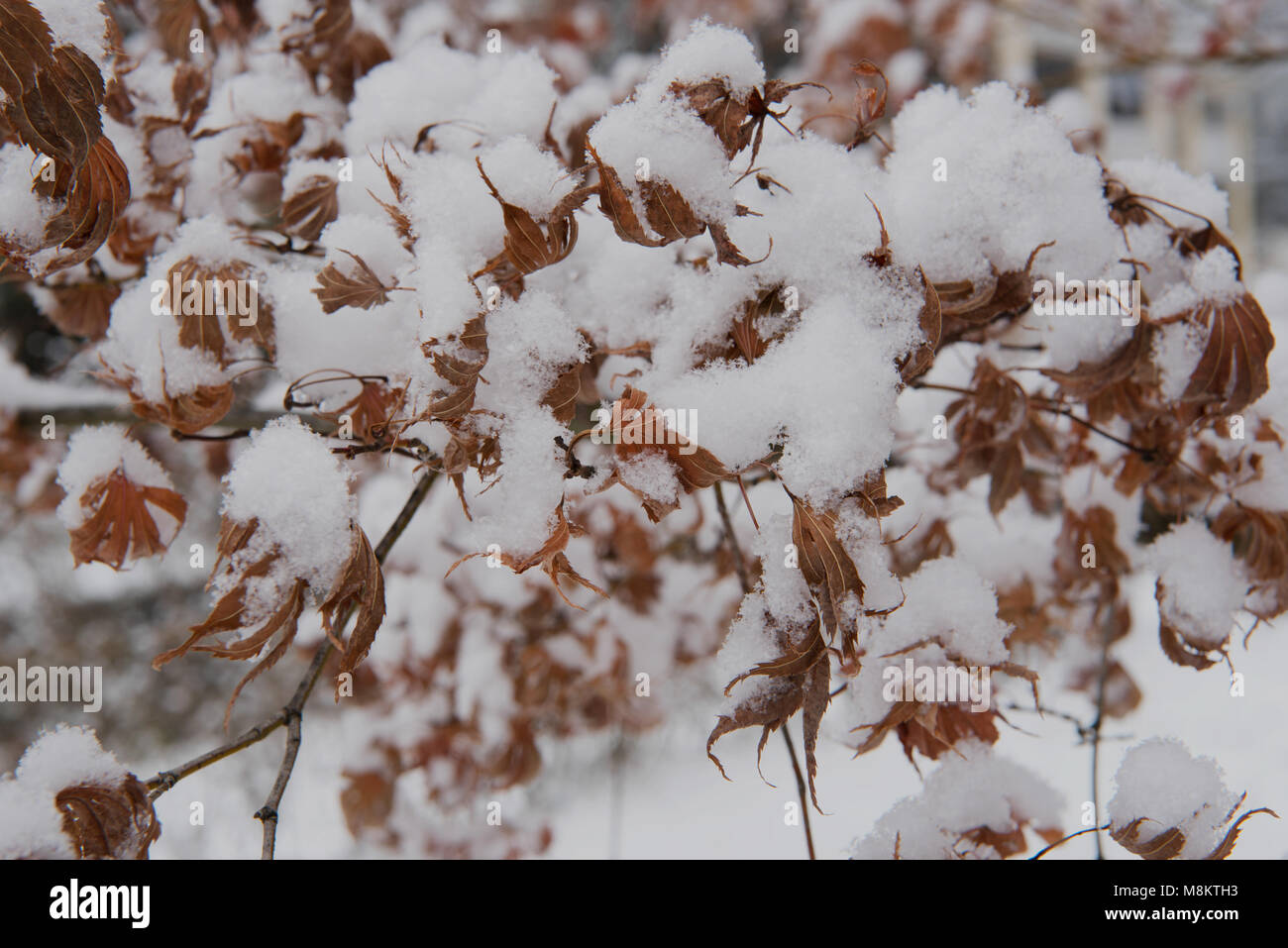 Snow laden leaves - Stock Image
