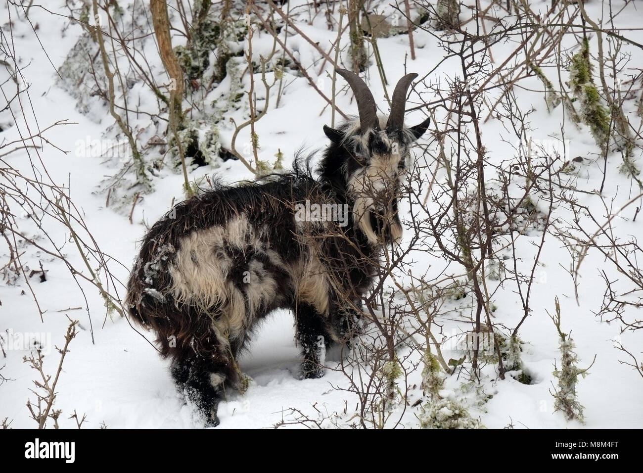Cheddar Gorge, UK. 18th March 2018 - Feral Goat in the snows of Cheddar Gorge. Credit: Timothy Large/Alamy Live - Stock Image