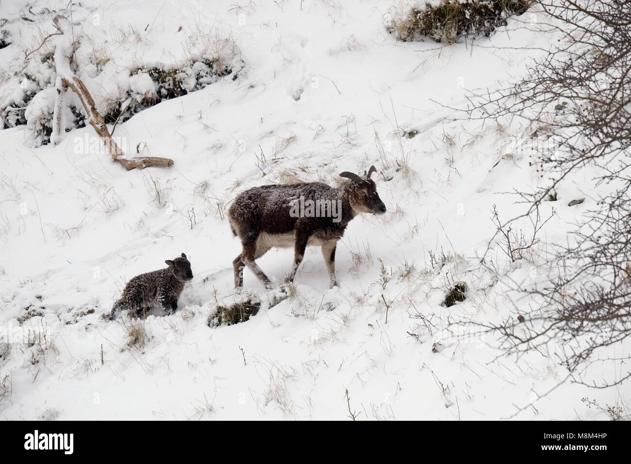 Cheddar Gorge, UK. 18th March 2018 - Feral soay sheep and lambs  in the snows of Cheddar Gorge. Credit: Timothy - Stock Image