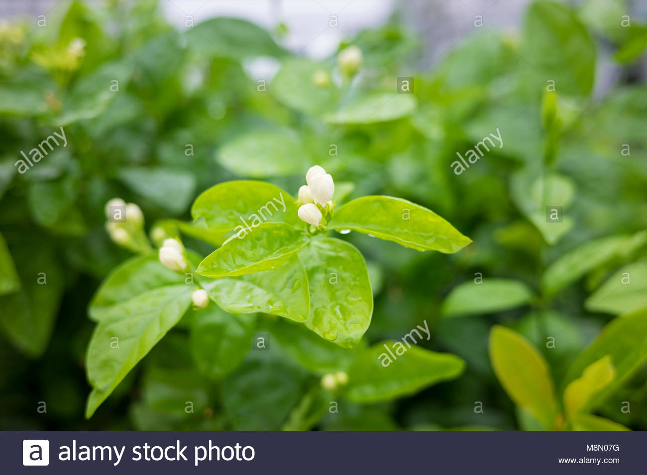 Cluster Of Jasmine Flower Buds Branches Focus On Flower Stock Photo