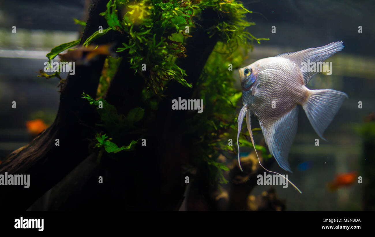 Platinum Angelfish Swimming In Aquascape Planted Tank With Moss Grow On  Driftwood
