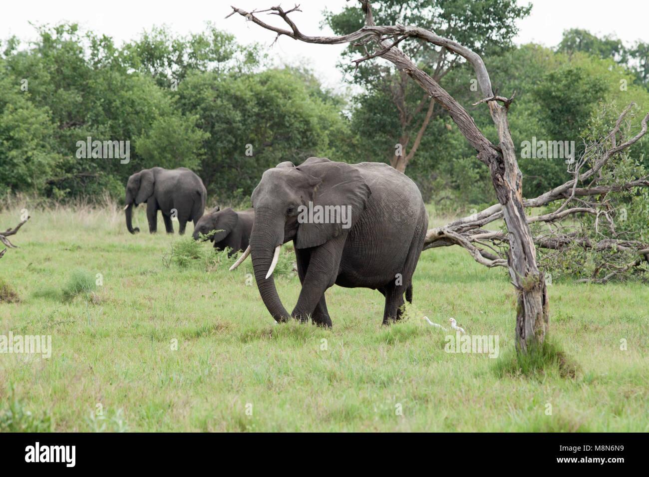 African Elephants (Loxodonta africanus). Feeding. Grazing, gathering grass. Elephant damaged tree foreground.January. - Stock Image