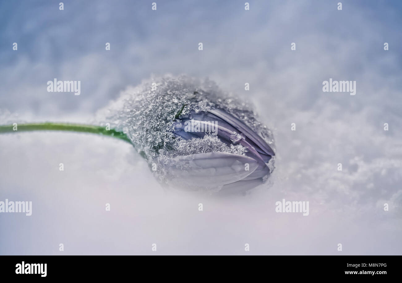 tiny ice crystals on a flower in the late winter snow - Stock Image