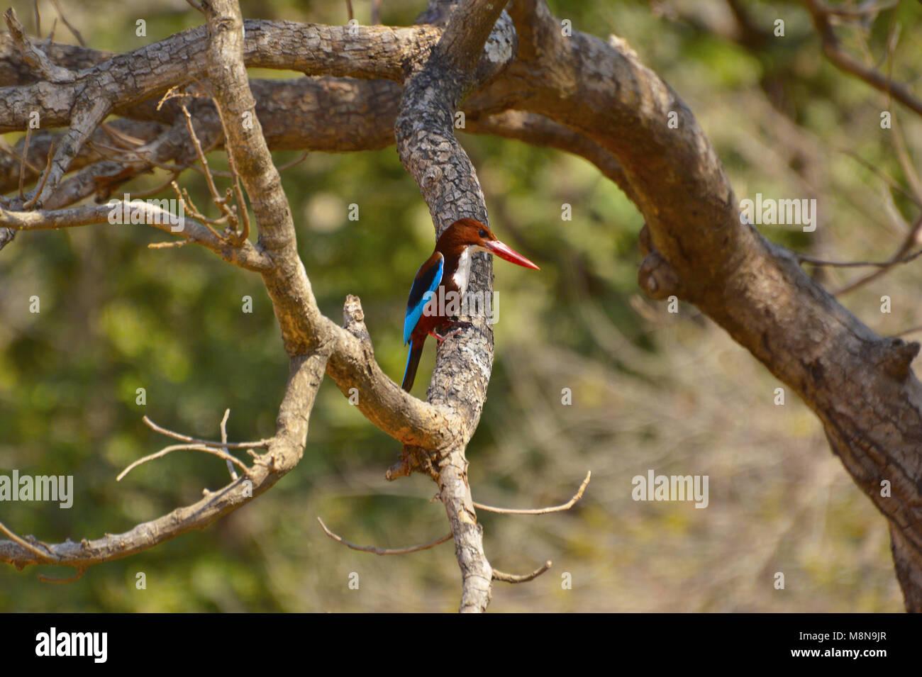 White-throated Kingfisher, Halcyon smyrnensis on a branch at Sagareshwar wildlife sanctuary, Sangli, Maharashtra, - Stock Image