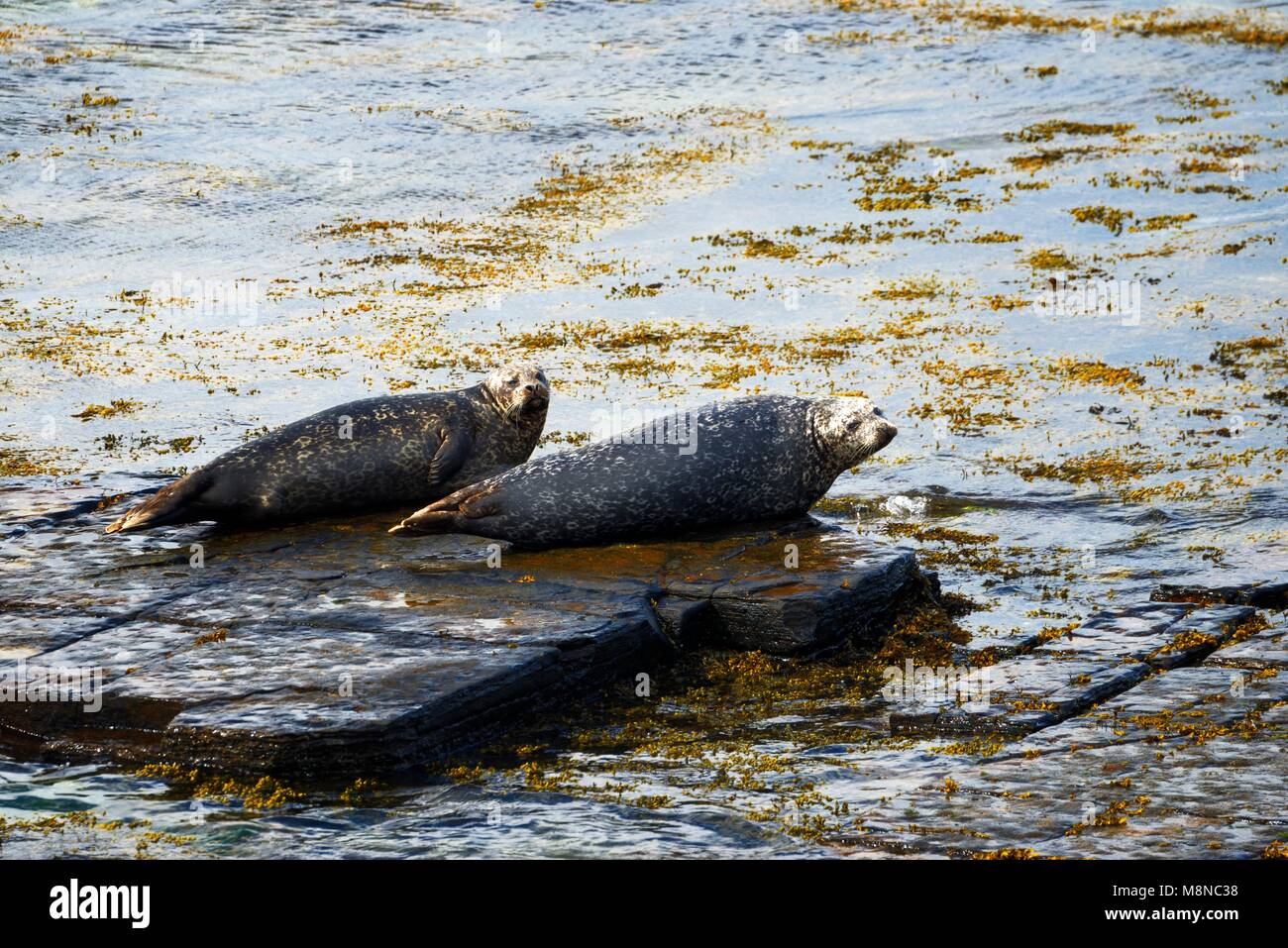 Grey seal seals Halichoerus grypus on Eynhallow Sound shore of Rousay, Orkney, Orkney Islands, Scotland, UK. Adults Stock Photo