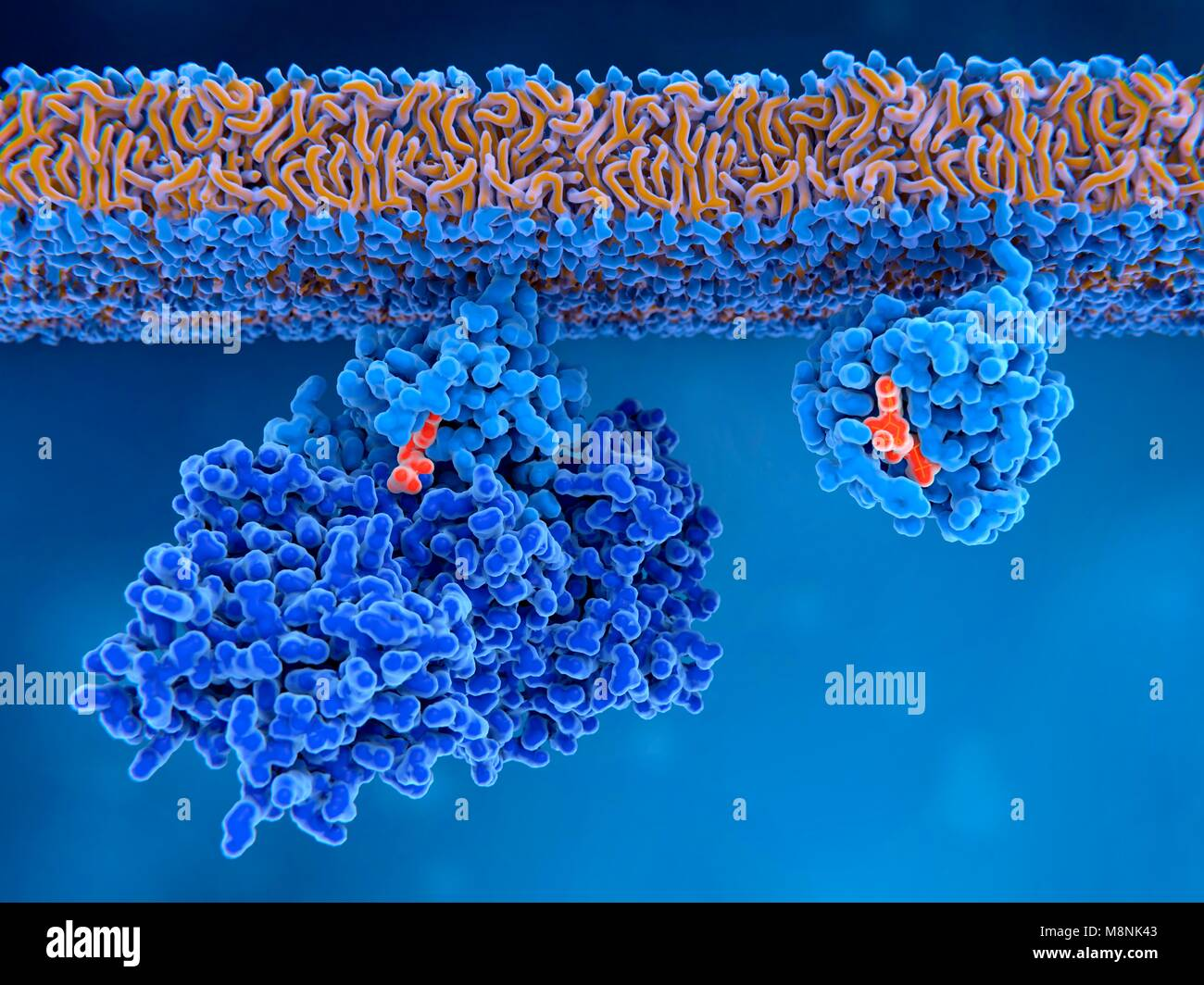 Activation of Ras protein,illustration. An inactive Ras protein (left) has a GEF (guanine nucleotide exchange factor) Stock Photo