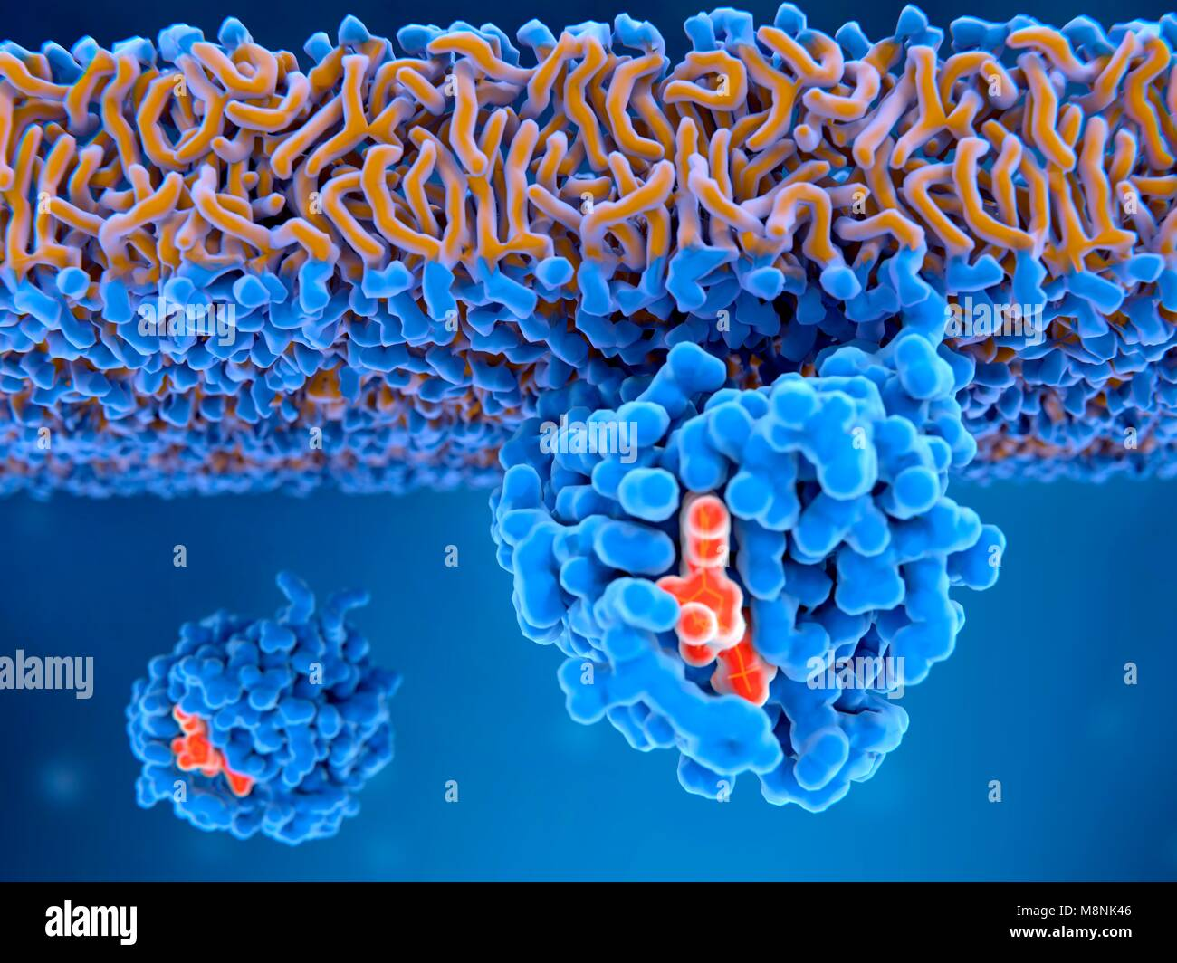 Activated Ras protein bound to a cell membrane, illustration. The activated form of Ras contains a bound GTP (guanosine - Stock Image
