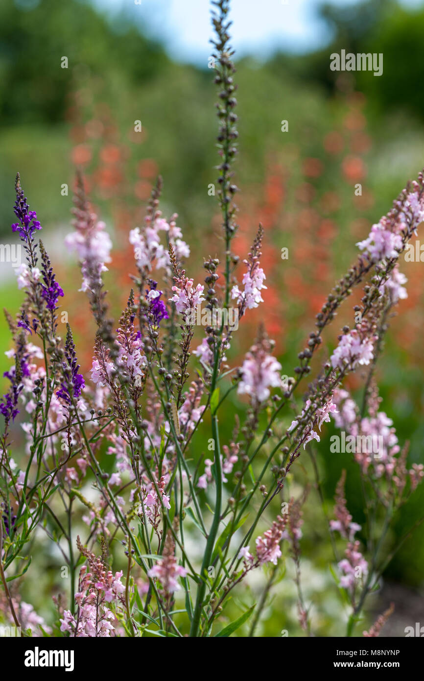 'Canon Went' Purple Toadflax, Purpursporre (Linaria purpurea) - Stock Image