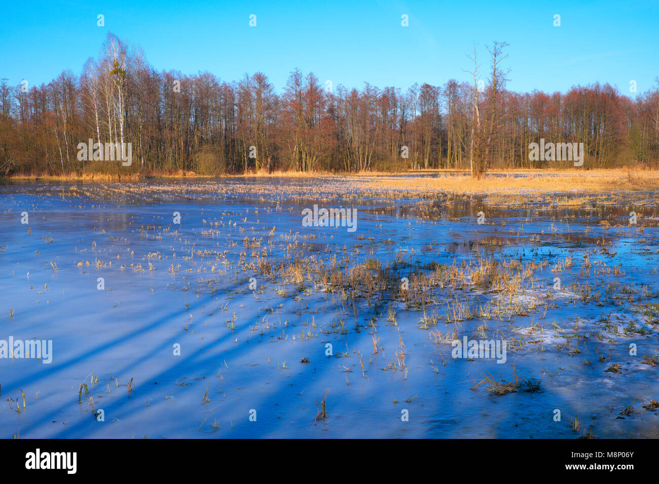 Panoramic view of flooded and frozen grassy forest meadows in early spring season in central Poland mazovian plateaus Stock Photo