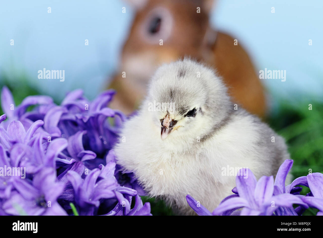 Little white and grey Easter chick sitting in the middle of purple hyacinth flowers with a brown bunny rabbit in - Stock Image