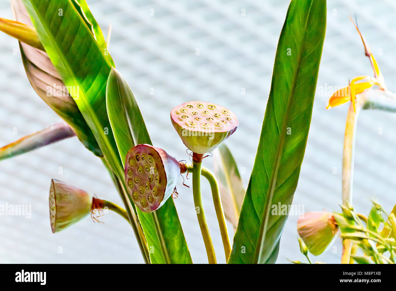 Photo calyxes of seed pod of lotus flower - Stock Image