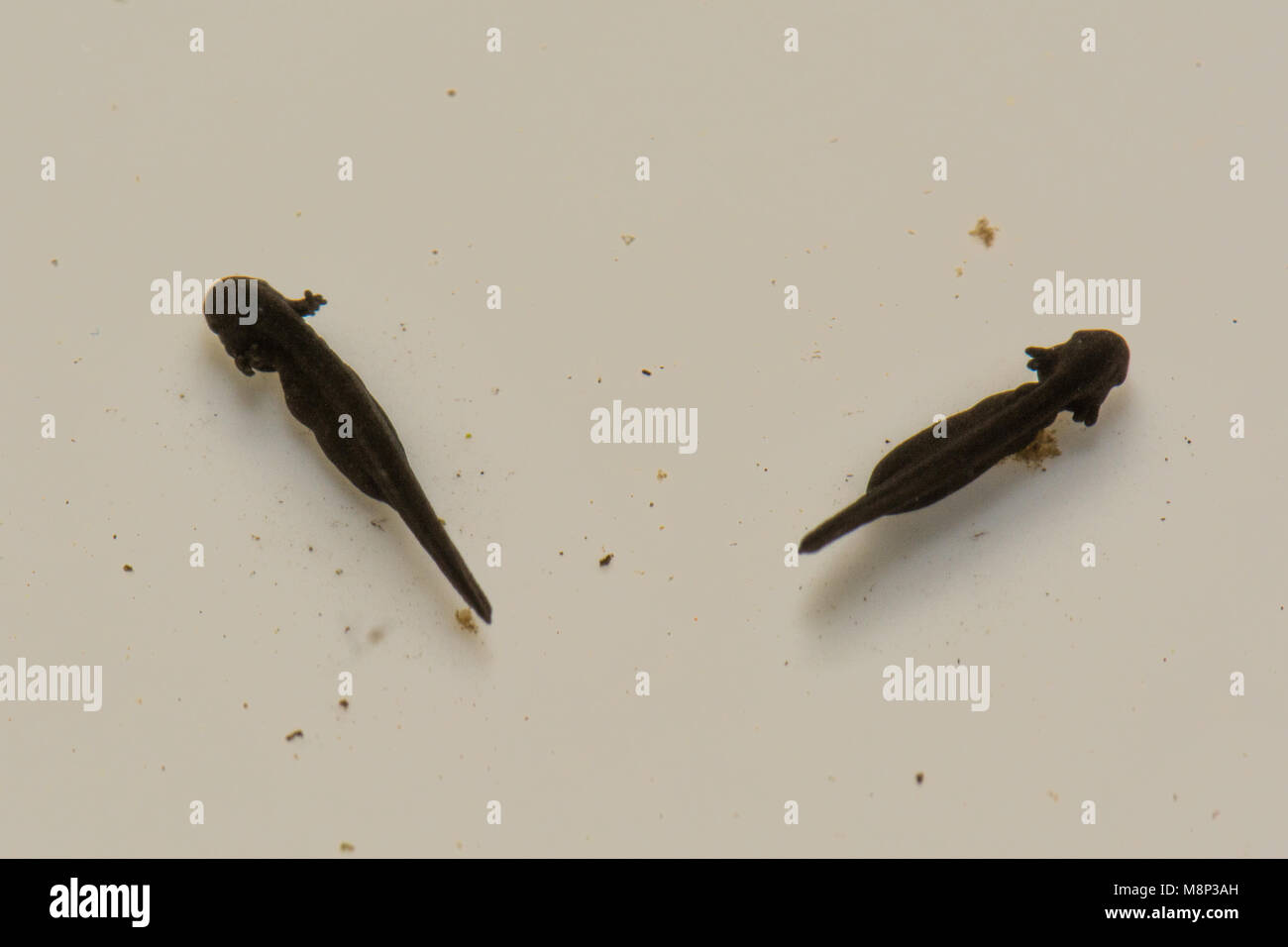 Newly hatched common frog tadpoles (Rana temporaria) - Stock Image