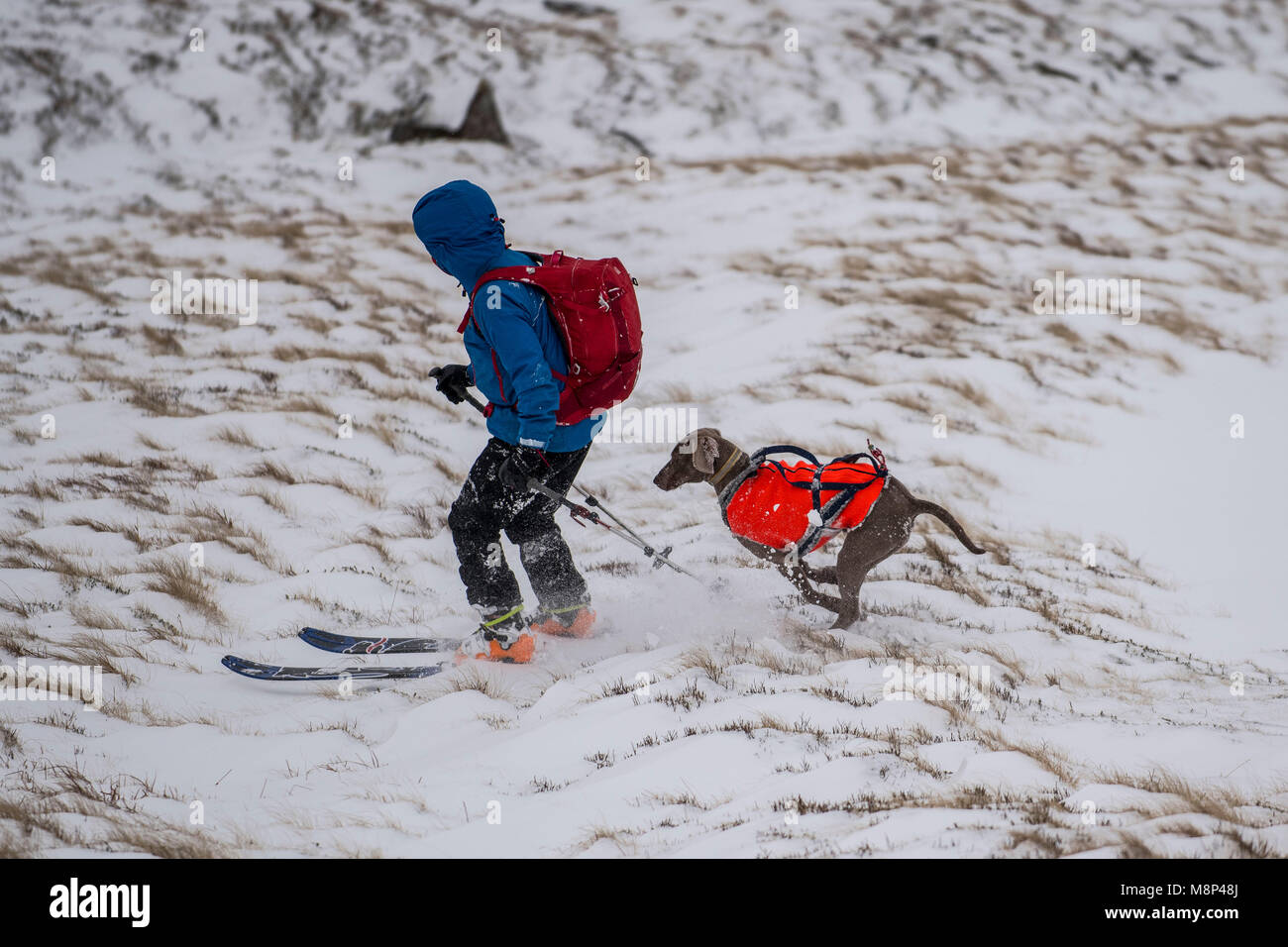 A skier and his dog make the most of the conditions skiing down from summit of Pen-y-fan in the Brecon Beacons National Stock Photo