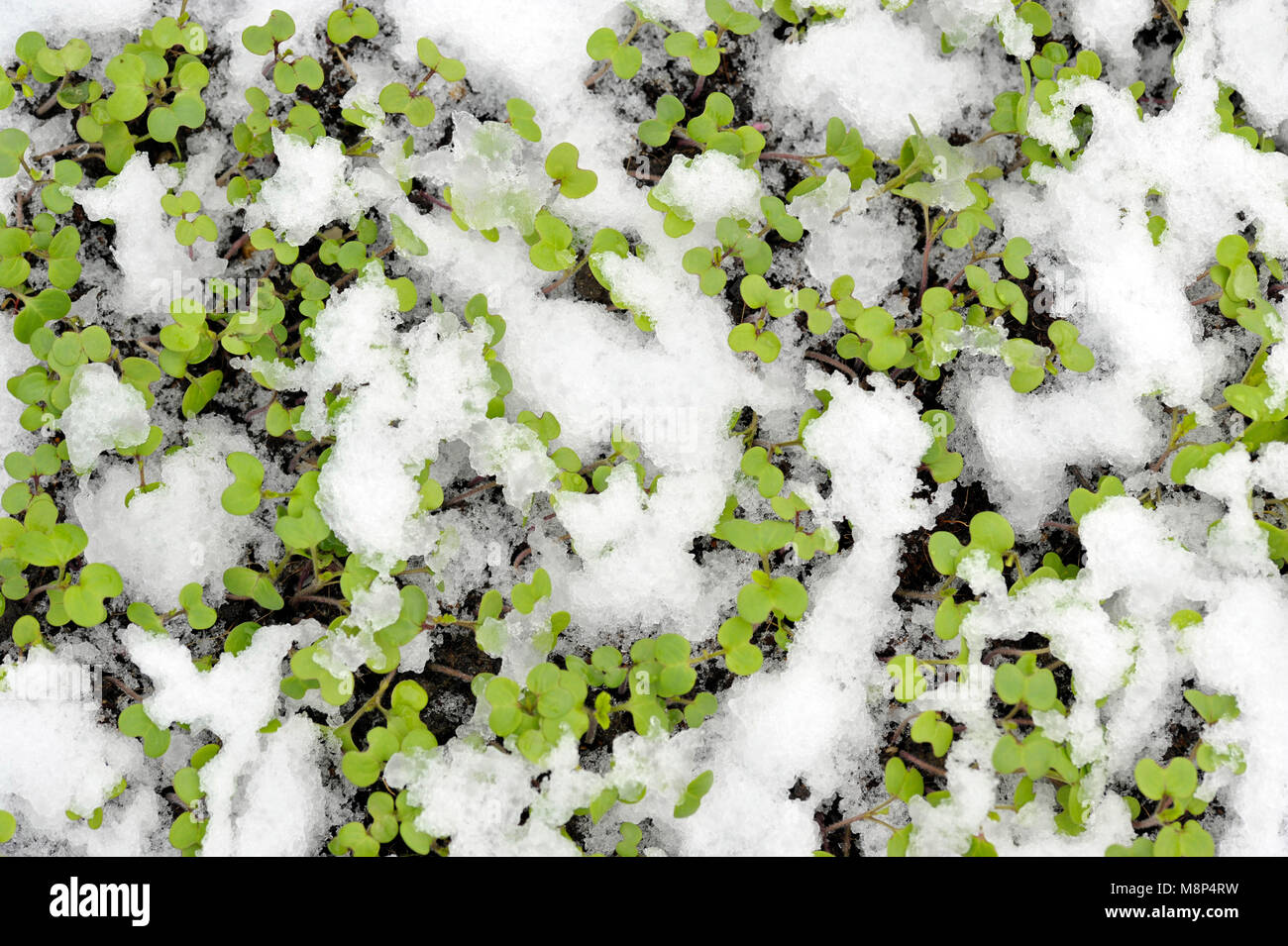 Mustard winter green manure cover crop plants growing with snow cover, Sinapis Alba, Brassica Alba or Brassica Hirta. - Stock Image