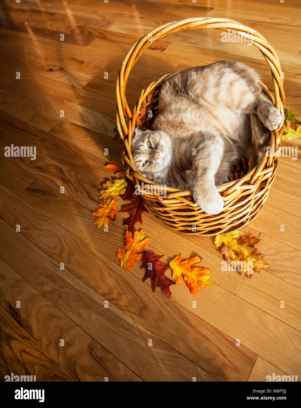 Domestic orange tabby cat in a basket, leaves, New Jersey, USA, Nov 2017, FS 11.92 MB, funny domestic cars animals isolated kittens in autumn Stock Photo