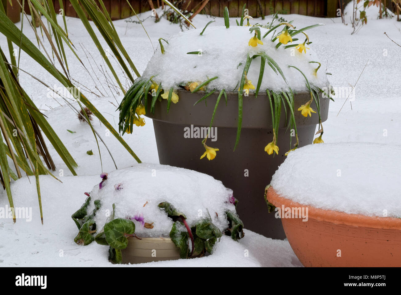 Snow covering spring flowers in garden pots - Stock Image
