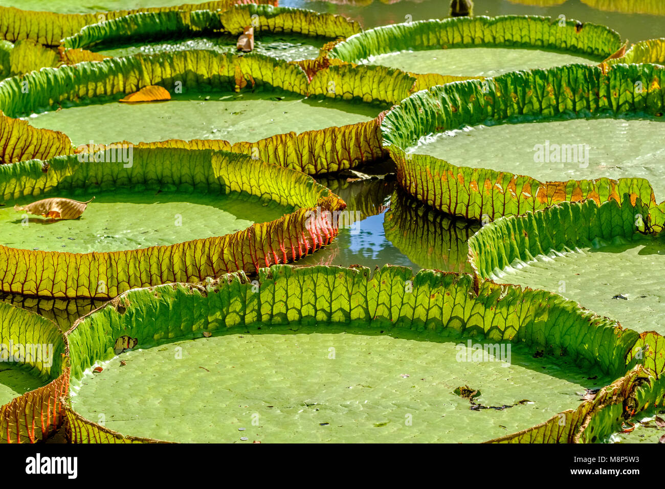 Large leaves of water lilies are floating on the water Stock Photo
