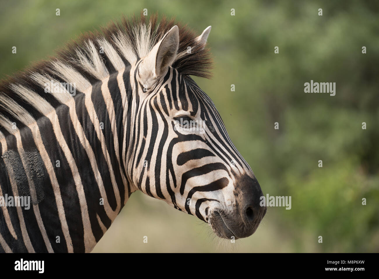 Portrait of a Burchell's Zebra - Stock Image