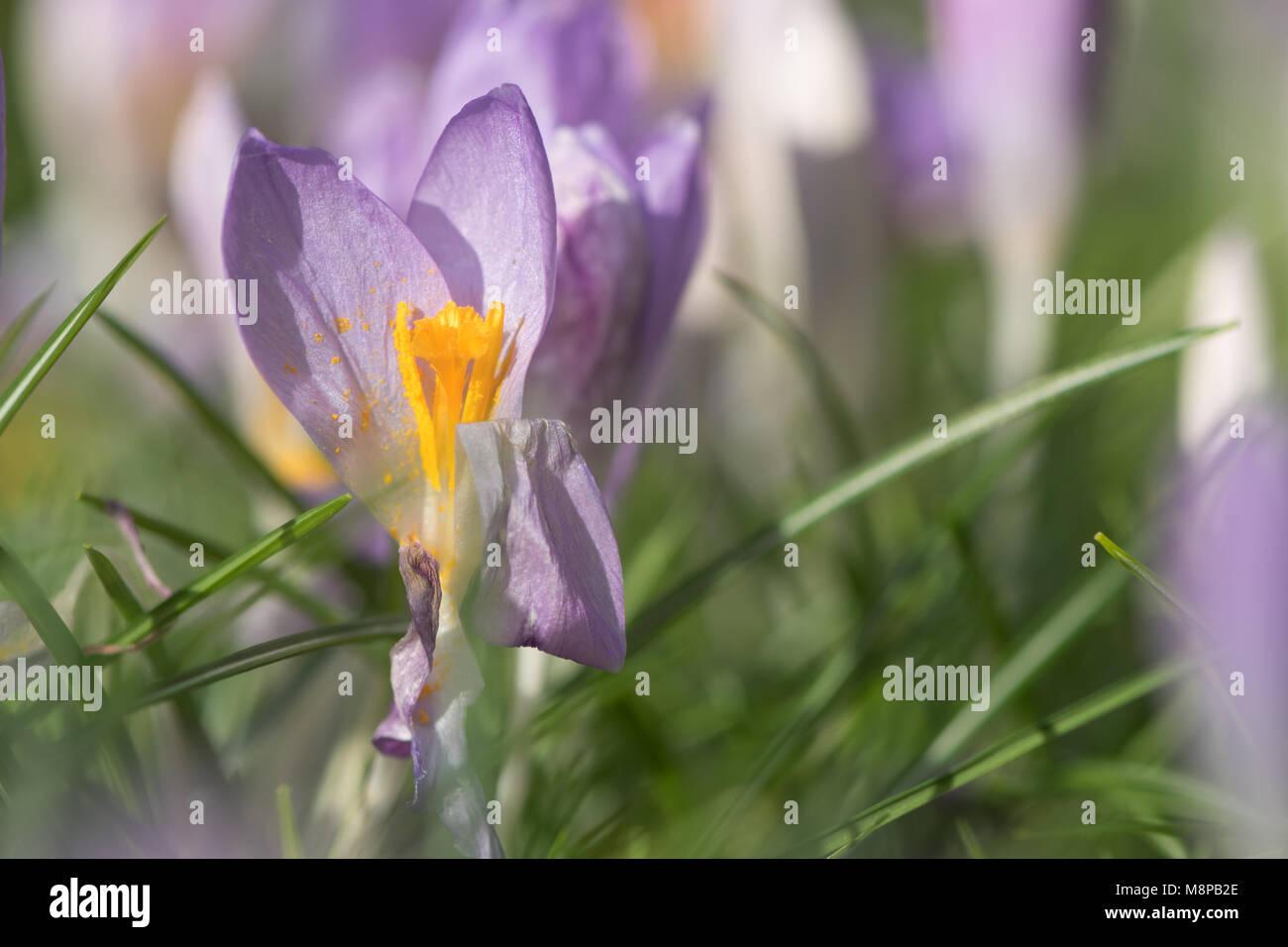 Purple Crocus sp. flowering amongst grass. Late winter flower (family Iridaceae) showing yellow stamens among grass - Stock Image