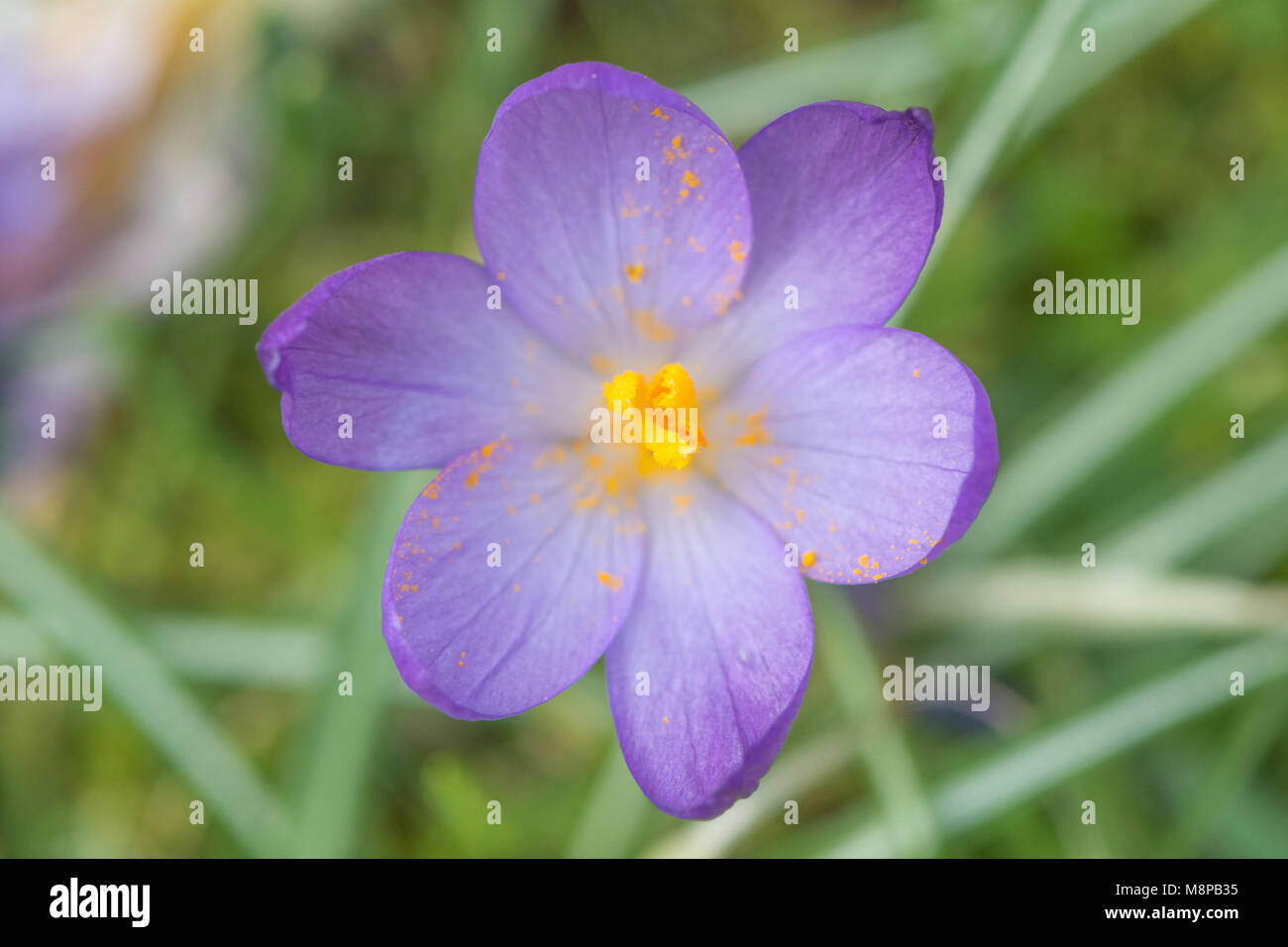 Purple Crocus sp. flowering amongst grass from above. Looking down on late winter flower (family Iridaceae) showing - Stock Image