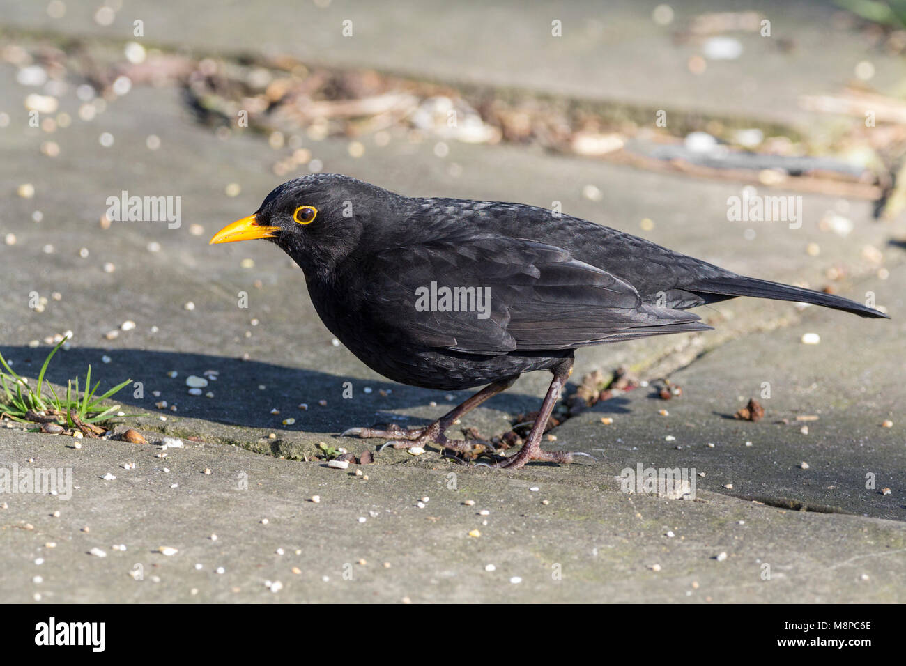Black bird (Turdus merula) Feeding on mixed seed scattered on pavement near Arundel castle in February 2018 while - Stock Image