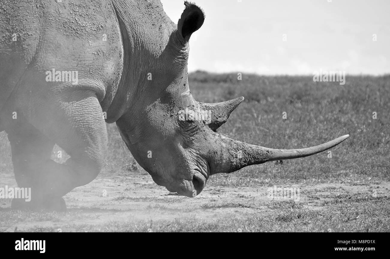Rhino kicking up dust Stock Photo