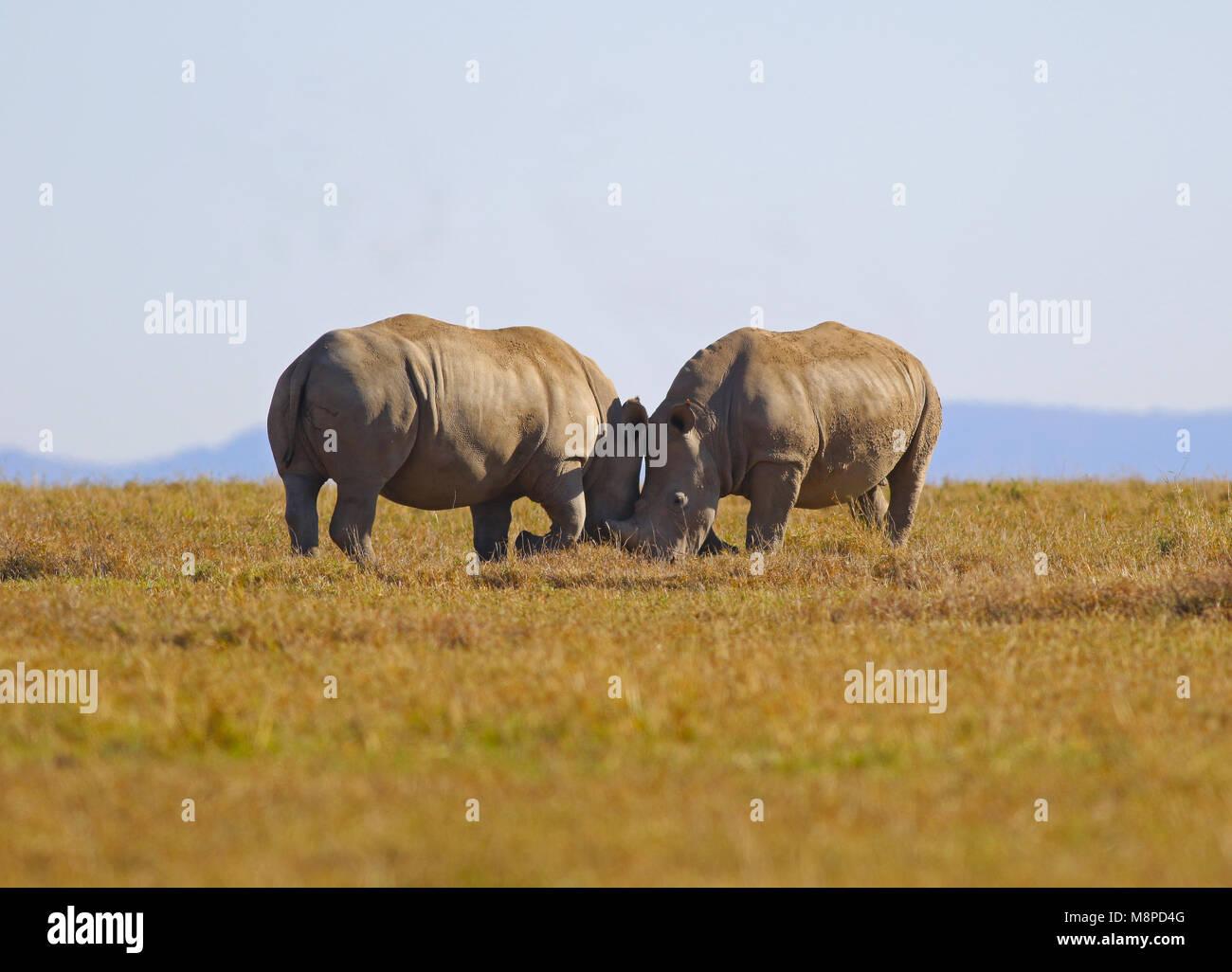 Rhino love - Stock Image