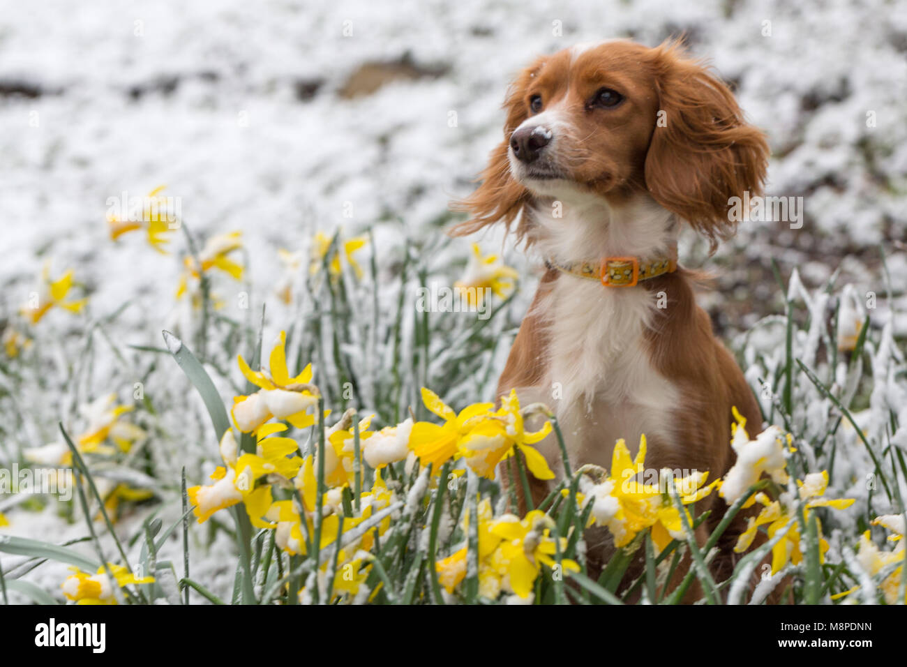 11 month old cockapoo Pip pictured in snowy daffodils in Gravesend, Kent. - Stock Image
