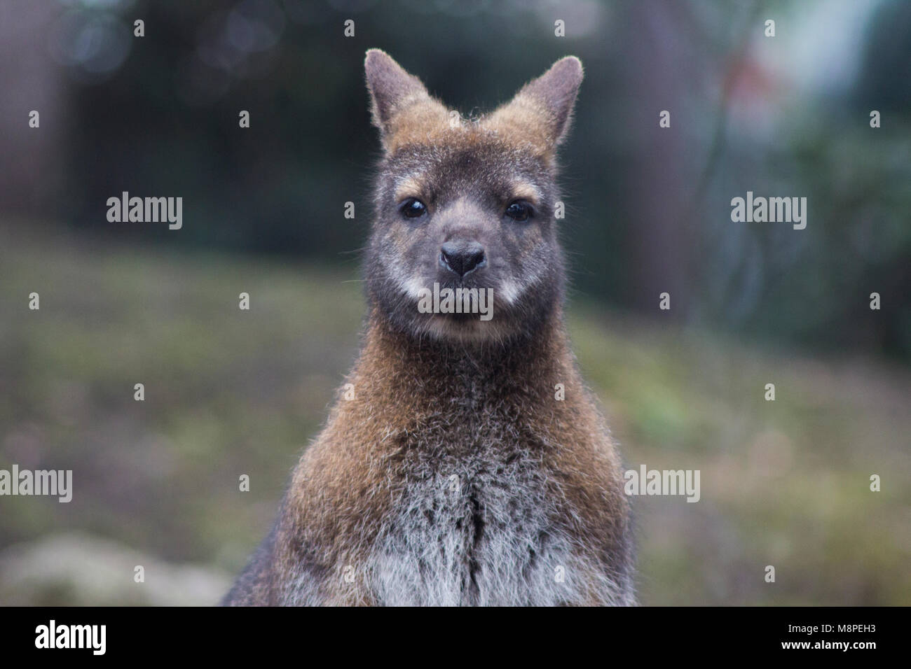 Wallaby at the welsh mountain zoo at Colwyn Bay, Wales. - Stock Image