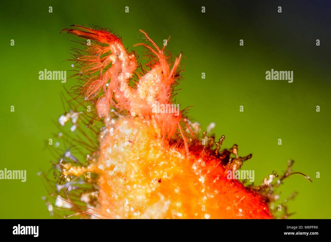 Hairy or algae shrimp, Phycocaris simulans, Anilao, Batangas, Philippines, Pacific - Stock Image
