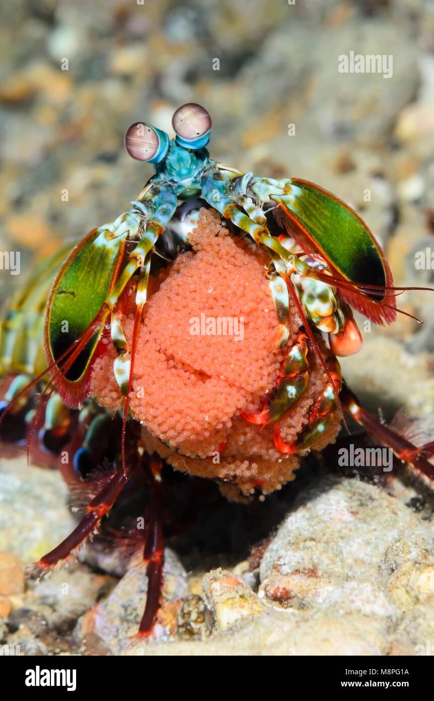 a gravid Peacock mantis shrimp, Odontodactylus scyllarus, Anilao, Batangas, Philippines, Pacific - Stock Image