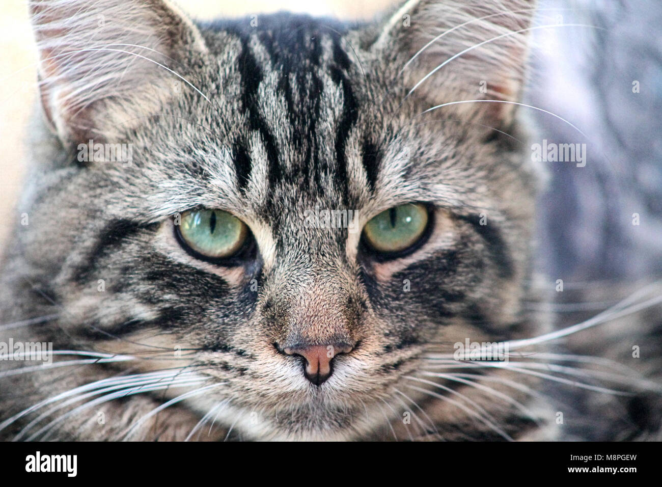 close up of a domestic pet tabby cats face Felis catus - Stock Image
