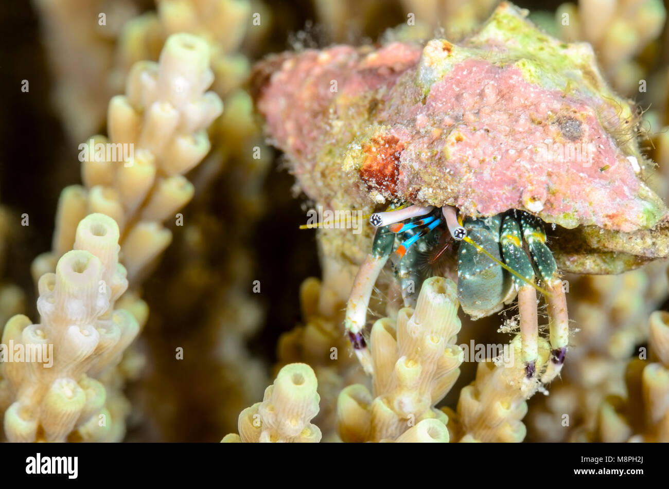 Hidden hermit crab, Calcinus latens, Anilao, Batangas, Philippines, Pacific - Stock Image