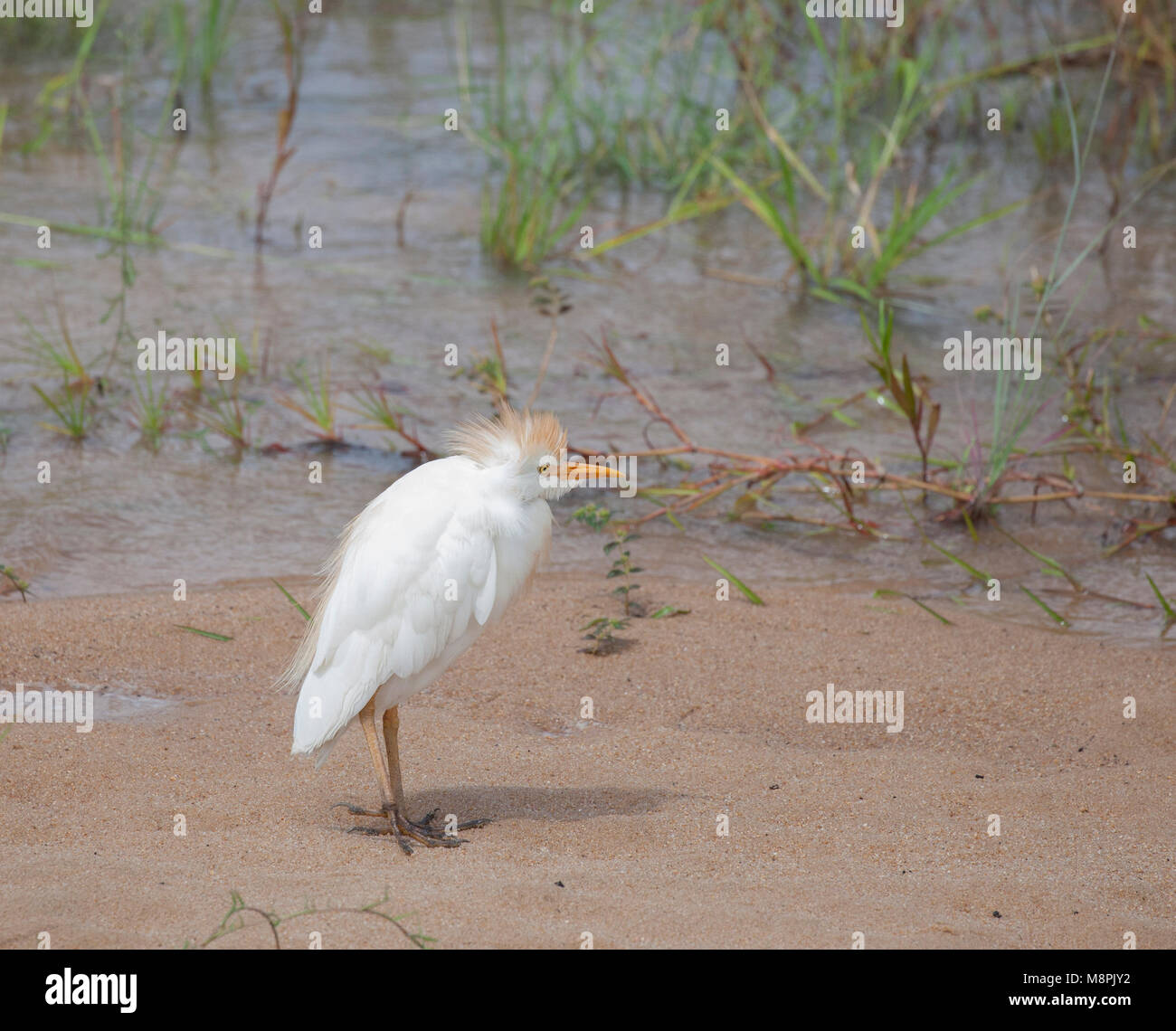 Cattle Egret, Bubulcus ibis, in Kruger National Park, South Africa - Stock Image