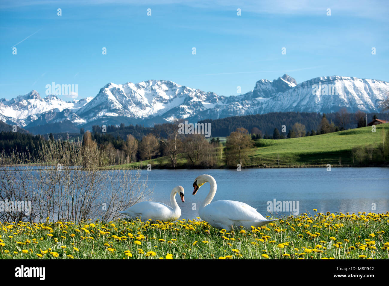 Couple of swans on Schwaltenweiher in Ostallgäu in front of the Alps with the snow-capped mountains Aggenstein and Stock Photo