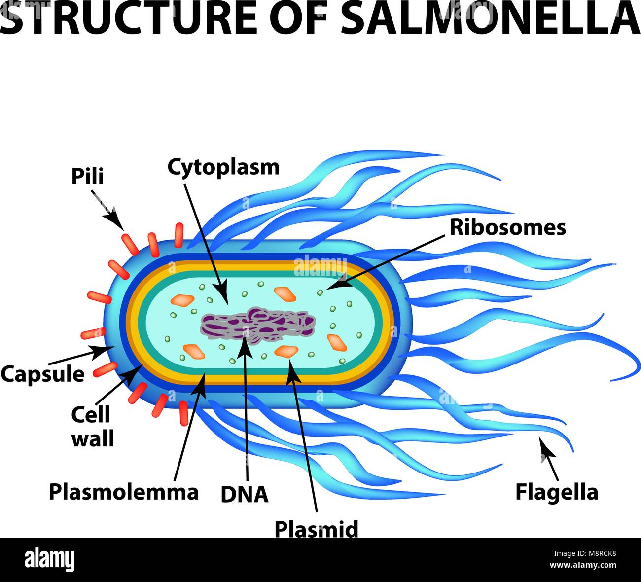 Bacteria cocci microorganism bacillus stock photos bacteria cocci the structure of the bacteria salmonella infographics vector illustration on isolated background ccuart Choice Image