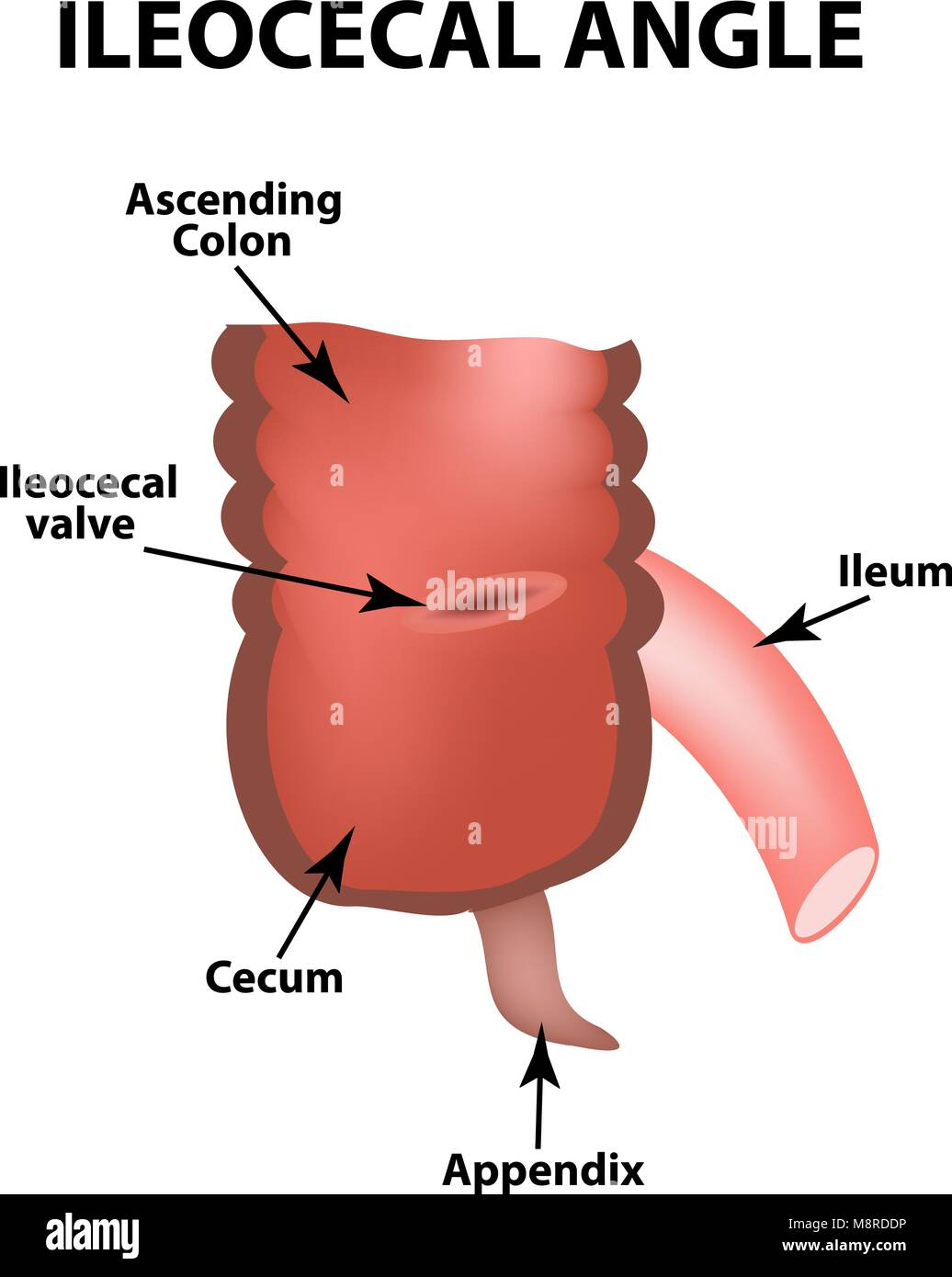 Ileum Stock Photos Ileum Stock Images Alamy