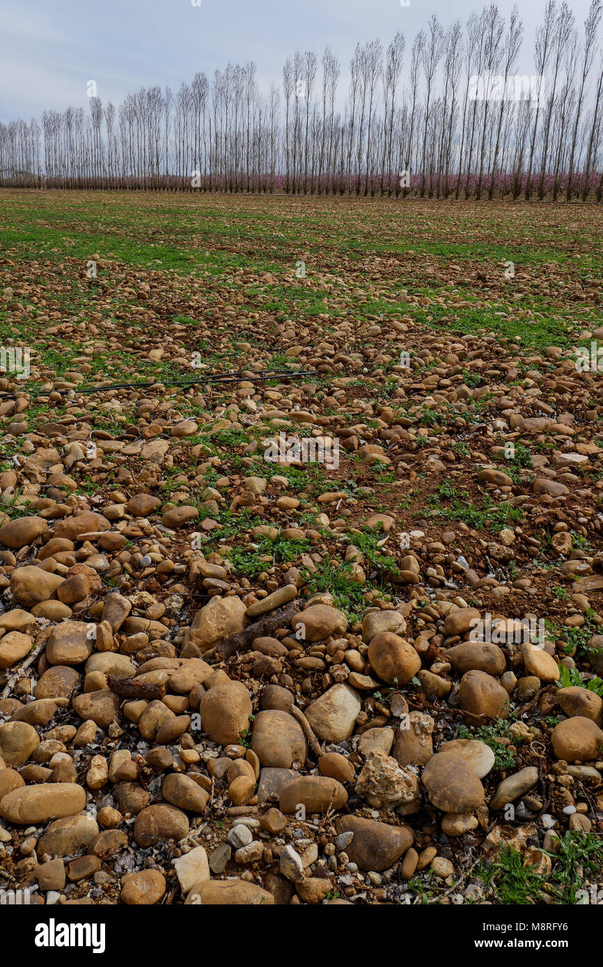 Old field in a fruit trees planting, Plain of the Crau, Bouches-du-Rhone, France - Stock Image