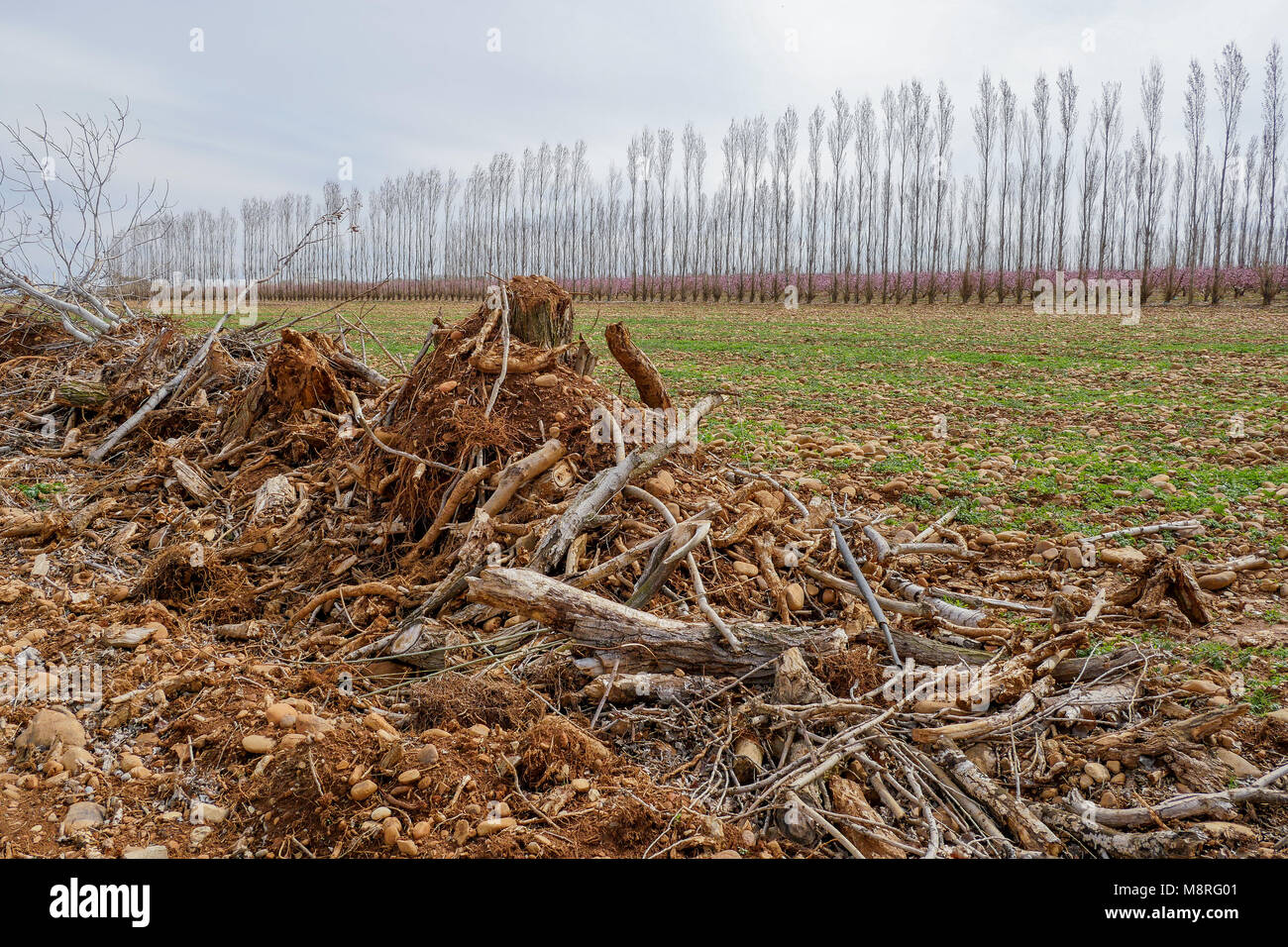 Cutted hedge in the Plain of the Crau, Camargue, France - Stock Image