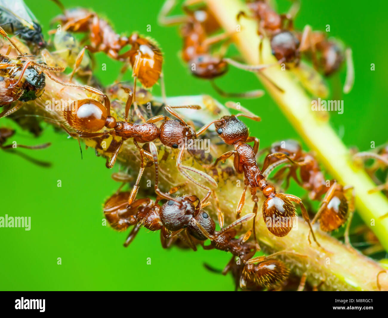 Red Ant and Aphid Colony on Twig Stock Photo
