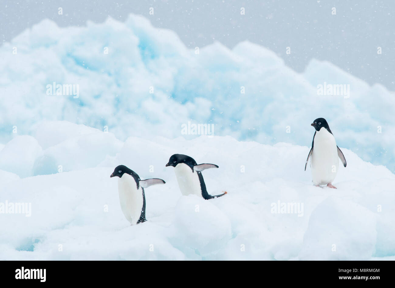 Adelie penguins walk along the top of an iceberg as snow falls in Antarctica. - Stock Image