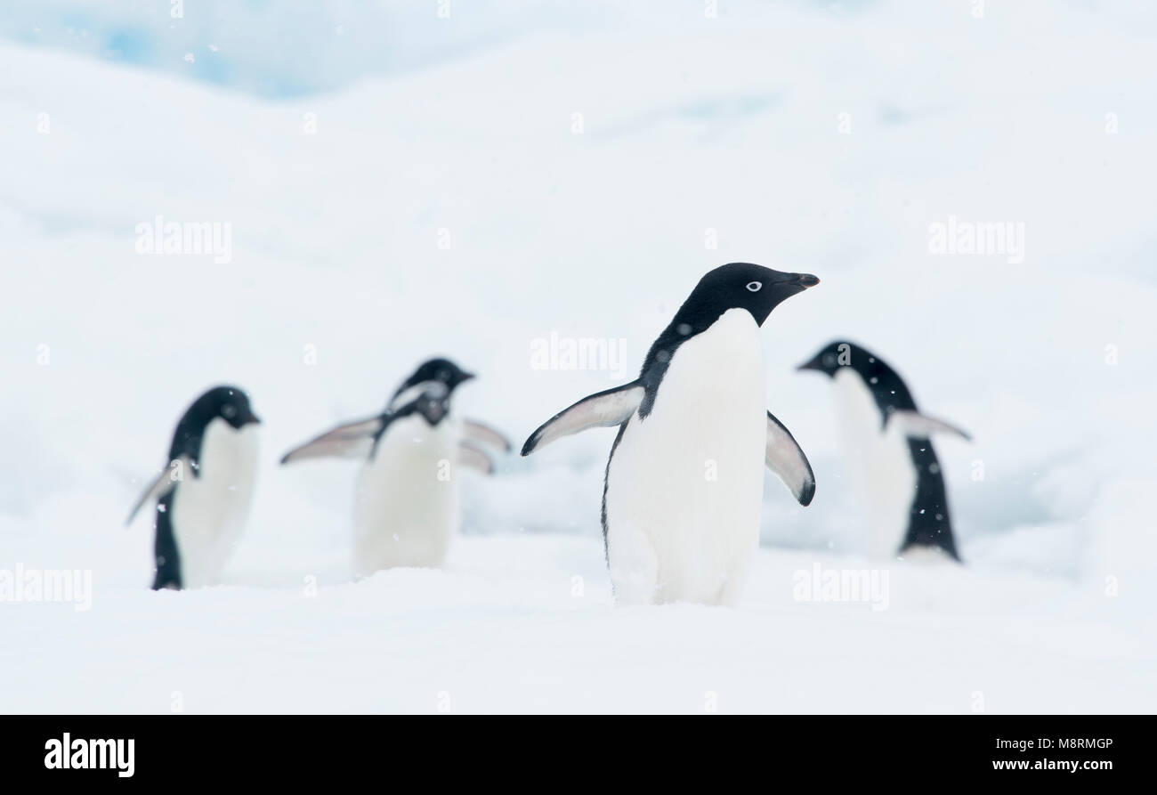 A group of Adelie penguins walk along the top of an iceberg in Antarctica. - Stock Image